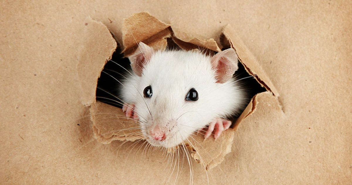 How to Block Mouse and Rat Holes in Your Home